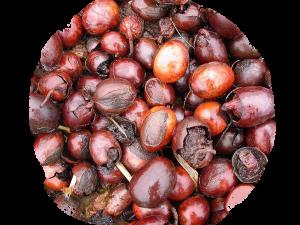 graines de Karité